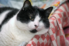 Black and white one-eyed cat Stock Image