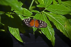 Black white and orange butterfly. A butterfly farm in the north of the island of saint martin contains hundreds of butterflies which have been conceived and Stock Image