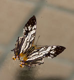 Black and white and orange butterfly Royalty Free Stock Photos