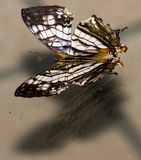 Black and white and orange butterfly Royalty Free Stock Image