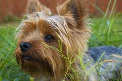 Black White and Orange Coated Dog on Green Grass Royalty Free Stock Photography