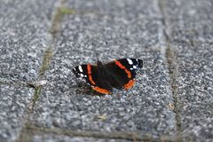 Black white and orange colored butterfly on stone ground Stock Image