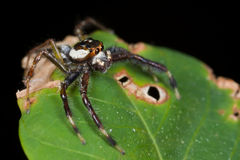 A black, white and orange jumping spider Royalty Free Stock Image
