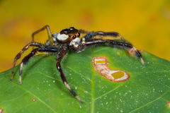 A black, white and orange jumping spider Stock Photo
