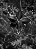 Black and white flower in a garden Royalty Free Stock Image