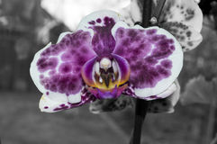 Black and white orchid Stock Photos