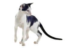Black and white oriental cat Royalty Free Stock Image
