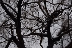 Black and white outline of branches against a grey sky. Very monochromatic perspective of snow covered branches against grey royalty free stock photography