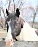 Black and white  paint  horse royalty free stock image