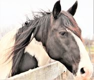 Black and white  paint  horse stock photography