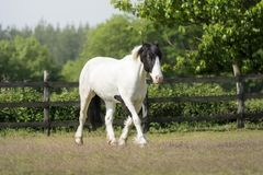 Black and white paint horse walking quietly stock photo