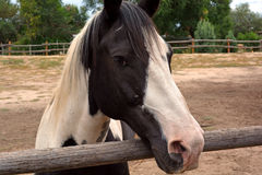 Black and White Painted Farm Horse. A black and white painted horse in closeup Stock Photography