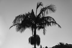 Black And White Palm Tree Silhouette. Palm tree framed against sky at sunset, black and white Stock Image