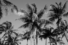 Black and White Palm Trees in Miami Stock Photos