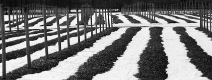 Black and White Panoramic Ginseng. Ginseng farm in a black and white panoramic view in winter Royalty Free Stock Images