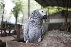 Black and white parrot standing on a branch Royalty Free Stock Photo