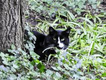 Black and White Patch on Face Cat Lurking in Greenery. Closeup cute curious feline Royalty Free Stock Photos