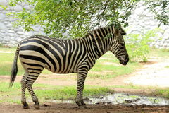 Black white pattern striped Zebra portrait Royalty Free Stock Photo