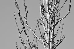 Black and white pear tree in winter Royalty Free Stock Image