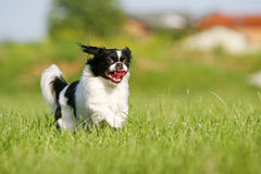 Black and white pekingese on meadow Royalty Free Stock Image