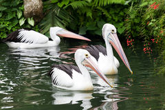 Black-and-white pelican Stock Photography