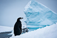 Black and white penguin Royalty Free Stock Photo