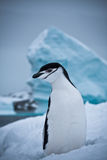 Black and white penguin Stock Image