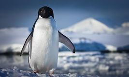 Black and white penguin Stock Photos