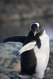 Black and white penguin Royalty Free Stock Images