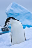 Black and white penguin Royalty Free Stock Photos