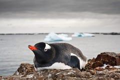 Black and white penguin Royalty Free Stock Photos