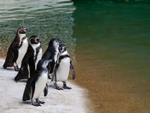 Black and white penguin Royalty Free Stock Photography