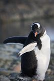 Black and white penguin Stock Photography