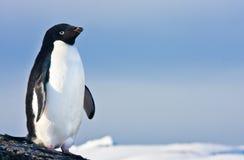 Black and white penguin Royalty Free Stock Image