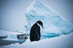 Black and white penguin Royalty Free Stock Image