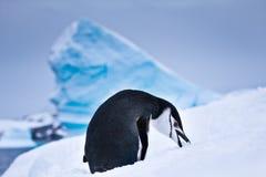 Black and white penguin Stock Photos