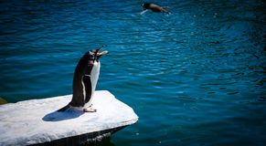 Black and White Penguin Standing on Gray Rock Near Body of Water Stock Photos
