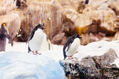 Black and white penguins Royalty Free Stock Photography