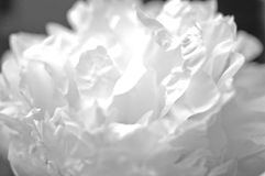 Black and White Peony. Delicate blossoms of a peony flower, done in black and white stock photo