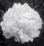 Black and white peony flower Royalty Free Stock Photography