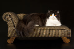 Black and white Persian on brown chaise. Beautiful black and white Persian lying on miniature brown chaise sofa, against black background Stock Images