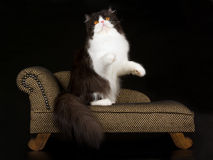 Black and white Persian on brown chaise. Beautiful black and white Persian sitting on miniature brown chaise sofa, against black background Stock Photos