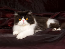 Black and white Persian on burgund black Stock Photography