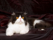 Black and white Persian on burgund black Royalty Free Stock Photography
