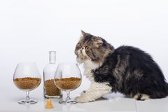 Black-and-white Persian cat, bottle cognac and two glass filled with a dry feed for cats. Black-and-white Persian cat, bottle from under cognac and two glasses stock image