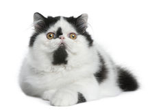 Black and white Persian cat lying Royalty Free Stock Photos