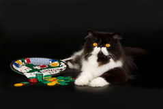 Black and white Persian gambling theme. Beautiful black and white Persian lying on black background, with roulette wheel and gambling chips Stock Photography