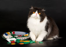 Black and white Persian gambling theme. Beautiful black and white Persian lying on black background, with roulette wheel and gambling chips Stock Photos