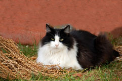 Black white pet cat Royalty Free Stock Photo