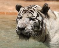 Black and white photo of albino tiger. There is an animal`s head close. The animal is in a wild natural. The tiger is looking forward stock photography